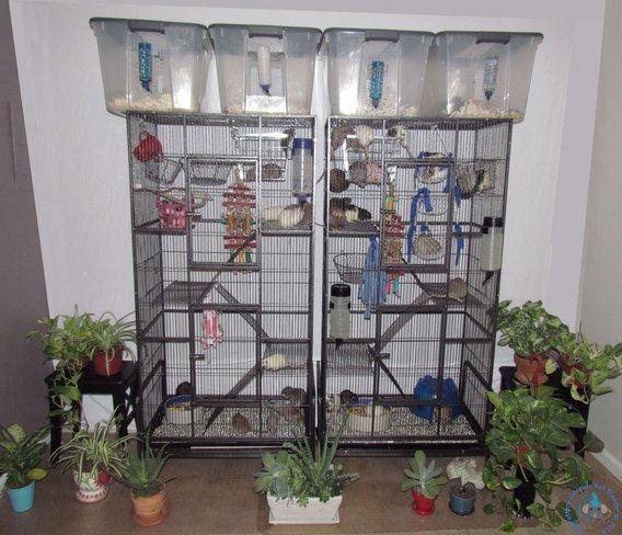 rattery pictures camarattery colorado rat breeder. Black Bedroom Furniture Sets. Home Design Ideas